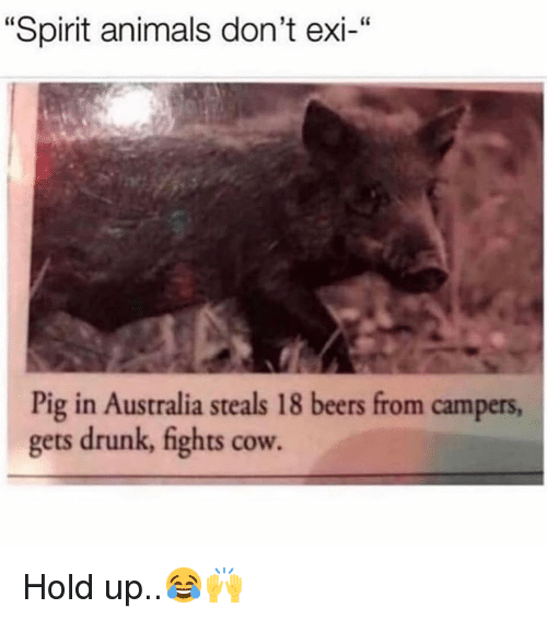 """Dont Exi: """"Spirit animals don't exi-""""  Pig in Australia steals 18 beers from campers  gets drunk, fights cow. Hold up..😂🙌"""