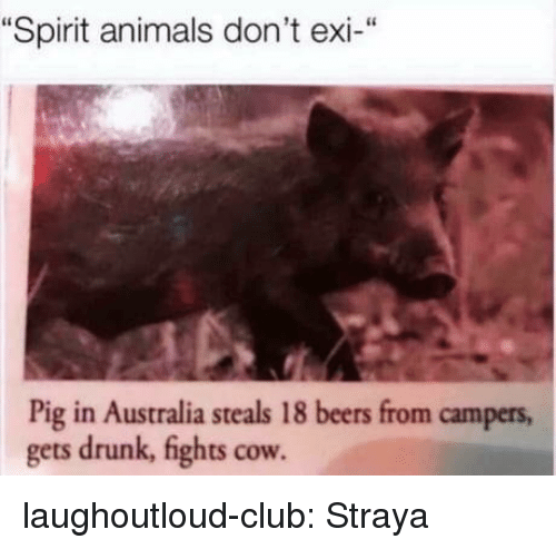 """Dont Exi: """"Spirit animals don't exi-""""  Pig in Australia steals 18 beers from campers  gets drunk, fights cow laughoutloud-club:  Straya"""