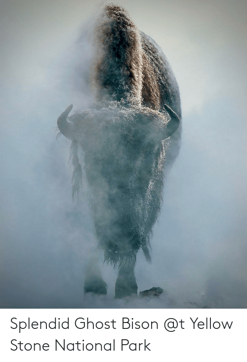 bison: Splendid Ghost Bison @t Yellow Stone National Park