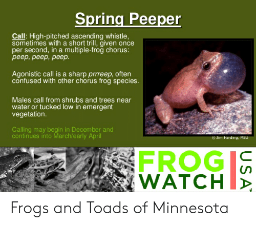 Frog Species: Spring Peeper  Call: High-pitched ascending whistle,  sometimes with a short trill, given once  per second, in a multiple-frog chorus:  peep,peep,peep.  Agonistic call is a sharp prrreep, often  confused with other chorus frog species.  Males call from shrubs and trees near  water or tucked low in emergent  vegetation.  Calling may begin in December and  continues into March/early April  Jim Harding, MSU  FROG  WATCHI, Frogs and Toads of Minnesota
