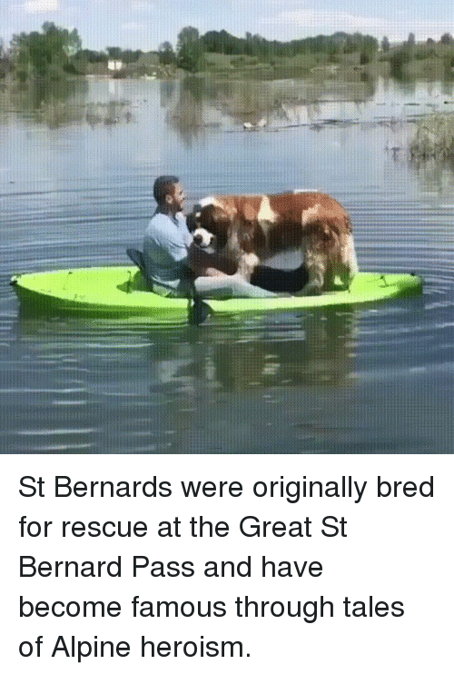 tales of: St Bernards were originally bred for rescue at the Great St Bernard Pass and have become famous through tales of Alpine heroism.
