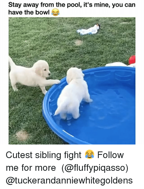 Memes, Pool, and Fight: Stay away from the pool, it's mine, you can  have the bowl Cutest sibling fight 😂 Follow me for more ➞ (@fluffypiqasso) @tuckerandanniewhitegoldens
