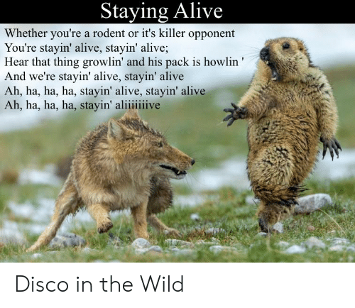 staying alive: Staying Alive  Whether you're a rodent or it's killer opponent  You're stayin' alive, stayin' alive;  Hear that thing growlin' and his pack is howlin'  And we're stayin' alive, stayin' alive  Ah, ha, ha, ha, stayin' alive, stayin' alive  Ah, ha, ha, ha, stayin' aliiiiiive Disco in the Wild