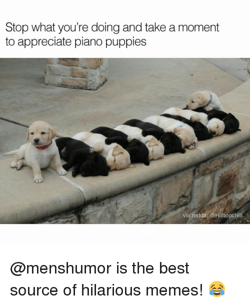 hilarious meme: Stop what you're doing and take a moment  to appreciate piano puppies  via reddit: @Hilltopchill @menshumor is the best source of hilarious memes! 😂
