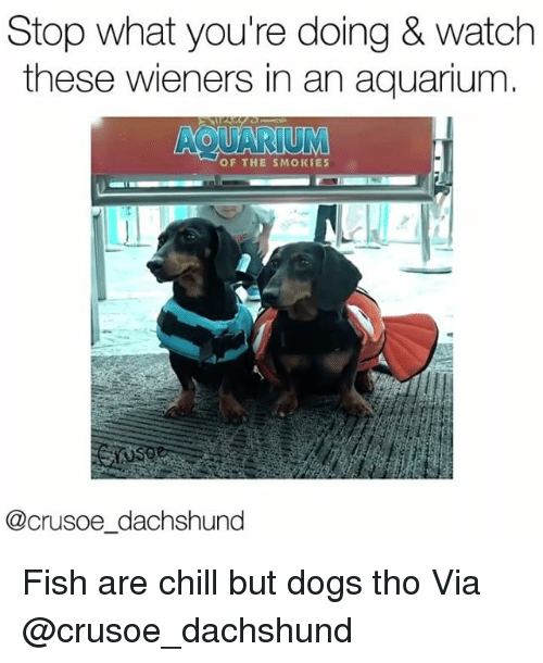 Chill, Dogs, and Memes: Stop what you're doing & watch  these wieners in an aquarium  AQUARIUM  OF THE SMOKIES  @crusoe dachshund Fish are chill but dogs tho Via @crusoe_dachshund