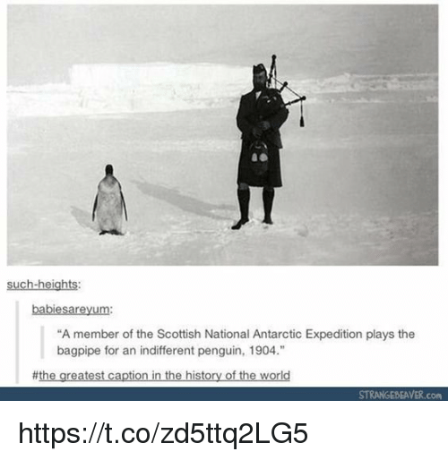 """antarctic: such-heights  babiesareyum:  """"A member of the Scottish National Antarctic Expedition plays the  bagpipe for an indifferent pengun, 1904.""""  #the greatest caption in the history of the world  STRANGEBEAVER.com https://t.co/zd5ttq2LG5"""