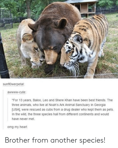 "Awwww: sunf10werpetal:  awwww-cute  ""For 13 years, Baloo, Leo and Shere Khan have been best friends. The  three animals, who live at Noah's Ark Animal Sanctuary in Georgia  [USA), were rescued as cubs from a drug dealer who kept them as pets.  In the wild, the three species hail from different continents and would  have never met.  omg my heart Brother from another species!"