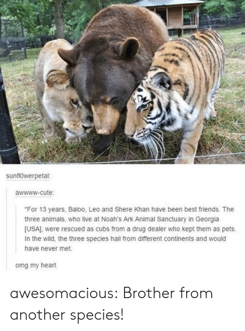 "Awwww: sunf10werpetal:  awwww-cute  ""For 13 years, Baloo, Leo and Shere Khan have been best friends. The  three animals, who live at Noah's Ark Animal Sanctuary in Georgia  [USA), were rescued as cubs from a drug dealer who kept them as pets.  In the wild, the three species hail from different continents and would  have never met.  omg my heart awesomacious:  Brother from another species!"