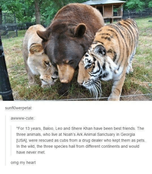 """Kepted: sunfl0werpetal  awwww-cute  """"For 13 years, Baloo, Leo and Shere Khan have been best friends. The  three animals, who live at Noah's Ark Animal Sanctuary in Georgia  [USA], were rescued as cubs from a drug dealer who kept them as pets  In the wild, the three species hail from different continents and would  have never met.  from a drug dealer who kept them as pets  omg my heart"""