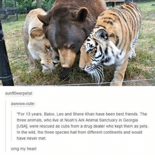 Animals, Cute, and Drug Dealer: sunflowerpetat  awwww-cute  For 13 years, Baloo, Leo and Shere Khan have been best friends. The  three animals, who live at Noah's Ark Animal Sanctuary in Georgia  [USA], were rescued as cubs from a drug dealer who kept them as pets.  In the wild, the three species hail from different continents and would  have never met  omg my heart