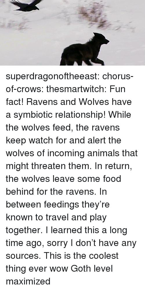 Chorus: superdragonoftheeast: chorus-of-crows:  thesmartwitch:  Fun fact! Ravens and Wolves have a symbiotic relationship! While the wolves feed, the ravens keep watch for and alert the wolves of incoming animals that might threaten them. In return, the wolves leave some food behind for the ravens. In between feedings they're known to travel and play together. I learned this a long time ago, sorry I don't have any sources.  This is the coolest thing ever wow   Goth level maximized