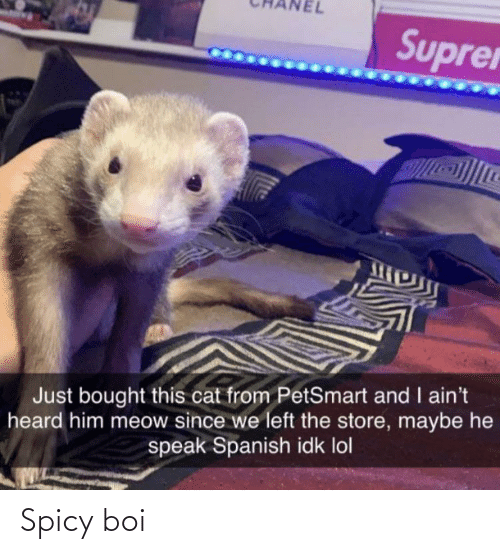 Spicy: Suprer  Just bought this cat from PetSmart and I ain't  heard him meow since we left the store, maybe he  speak Spanish idk lol Spicy boi