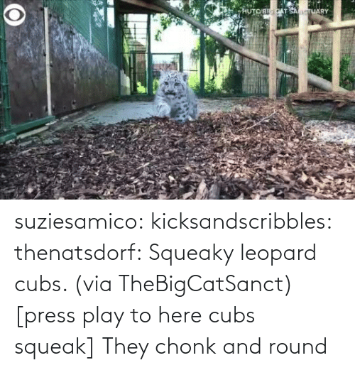 Twitter Com: suziesamico:  kicksandscribbles:  thenatsdorf: Squeaky leopard cubs. (viaTheBigCatSanct) [press play to here cubs squeak]    They chonk and round