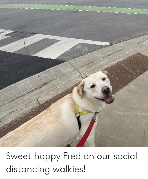 fred: Sweet happy Fred on our social distancing walkies!