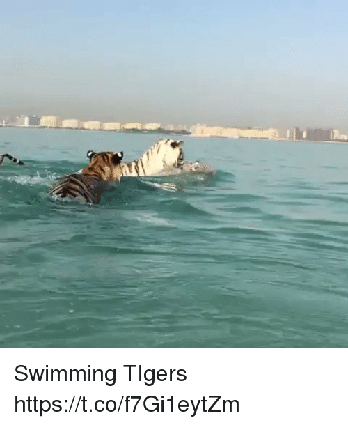 Memes, Tigers, and Swimming: Swimming TIgers  https://t.co/f7Gi1eytZm