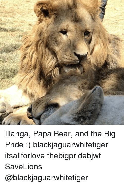 papa bear: ,t Illanga, Papa Bear, and the Big Pride :) blackjaguarwhitetiger itsallforlove thebigpridebjwt SaveLions @blackjaguarwhitetiger