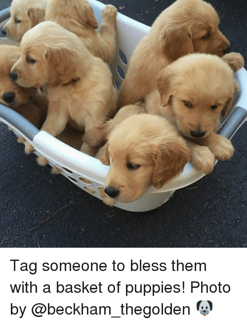 Memes, Puppies, and Tag Someone: Tag someone to bless them with a basket of puppies! Photo by @beckham_thegolden 🐶