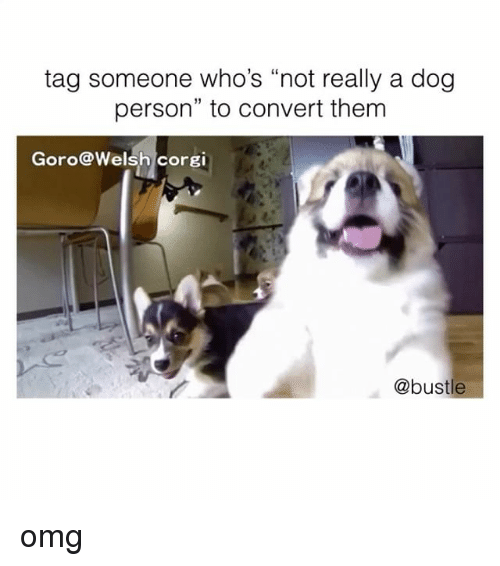 "Convertable: tag someone who's ""not really a dog  person"" to convert them  Goro@Welsh corgi  @bustle omg"
