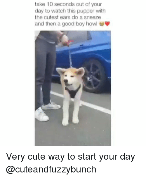 Very Cute: take 10 seconds out of your  day to watch this pupper with  the cutest ears do a sneeze  and then a good boy howl Very cute way to start your day   @cuteandfuzzybunch