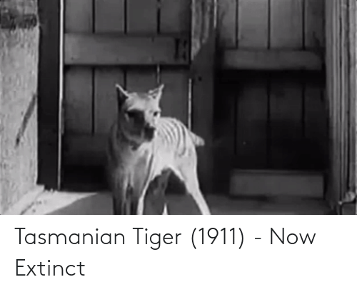 tasmanian tiger: Tasmanian Tiger (1911) - Now Extinct
