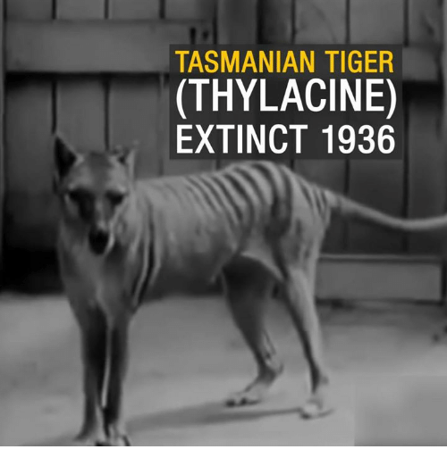 tasmanian tiger: TASMANIAN TIGER  (THYLACINE)  EXTINCT 1936