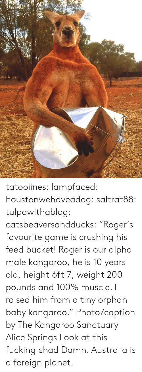 "muscle: tatooiines: lampfaced:  houstonwehaveadog:  saltrat88:  tulpawithablog:  catsbeaversandducks:  ""Roger's favourite game is crushing his feed bucket! Roger is our alpha male kangaroo, he is 10 years old, height 6ft 7, weight 200 pounds and 100% muscle. I raised him from a tiny orphan baby kangaroo."" Photo/caption by The Kangaroo Sanctuary Alice Springs   Look at this fucking chad    Damn.   Australia is a foreign planet."