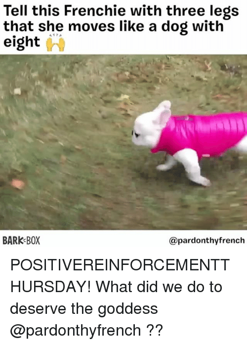 Frenchie: Tell this Frenchie with three legs  that she moves like a dog with  eight (hi  BARK BOX  @pardonthyfrench POSITIVEREINFORCEMENTTHURSDAY! What did we do to deserve the goddess @pardonthyfrench ??