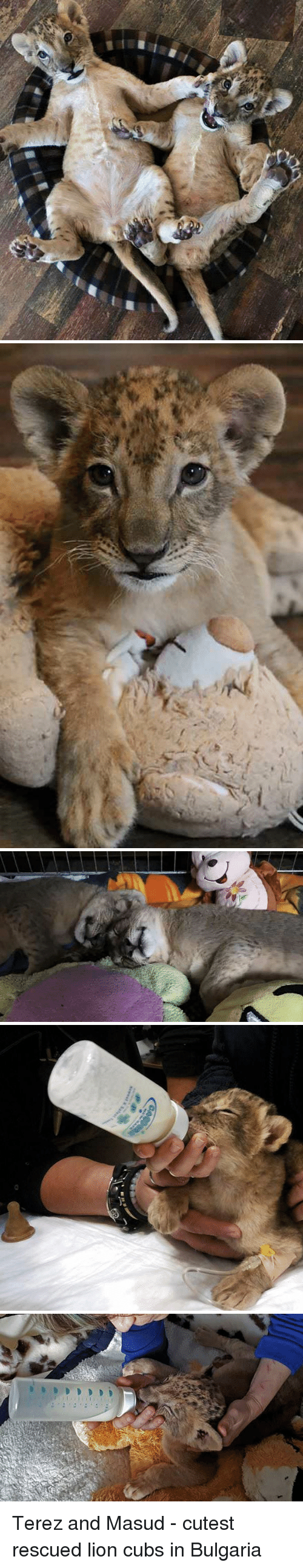 Bulgaria: Terez and Masud - cutest rescued lion cubs in Bulgaria
