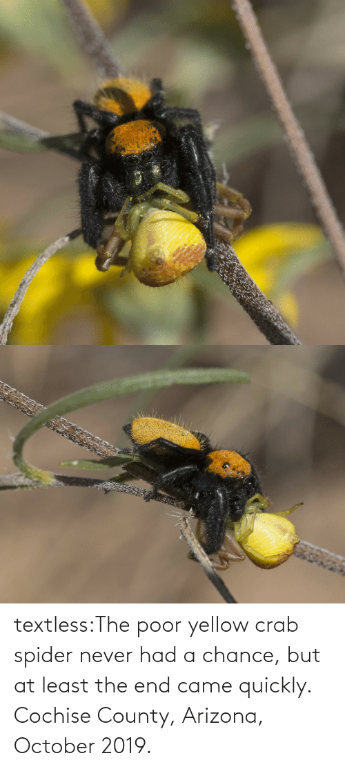 yellow: textless:The poor yellow crab spider never had a chance, but at least the end came quickly.  Cochise County, Arizona, October 2019.
