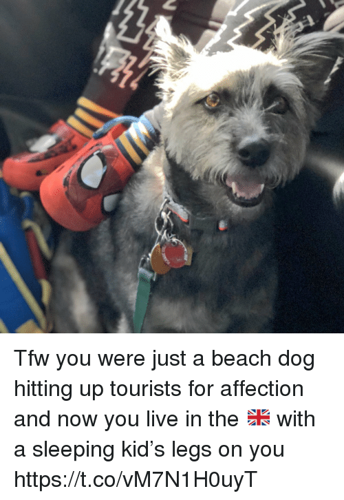 Memes, Tfw, and Beach: Tfw you were just a beach dog hitting up tourists for affection and now you live in the 🇬🇧 with a sleeping kid's legs on you https://t.co/vM7N1H0uyT