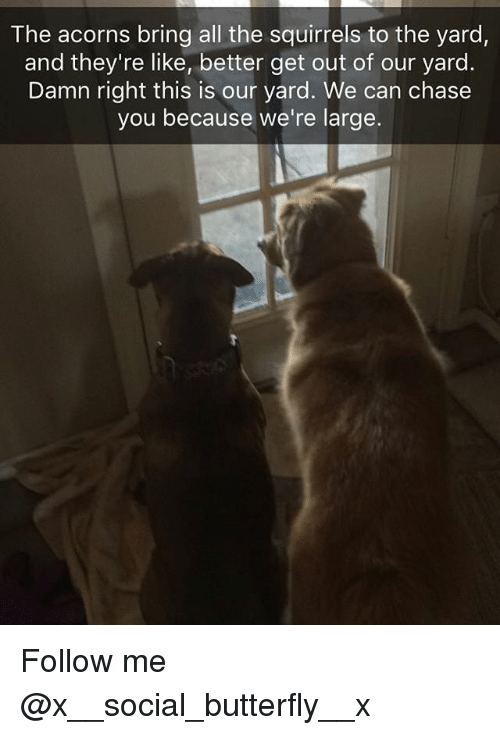 Memes, Butterfly, and Chase: The acorns bring all the squirrels to the yard,  and they're like, better get out of our yard  Damn right this is our yard. We can chase  you because we're large. Follow me @x__social_butterfly__x