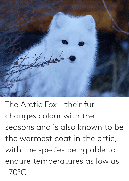 Fox, Species, and Fur: The Arctic Fox - their fur changes colour with the seasons and is also known to be the warmest coat in the artic, with the species being able to endure temperatures as low as -70°C