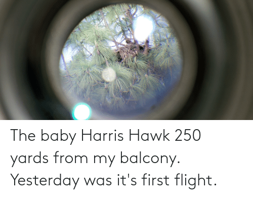 the baby: The baby Harris Hawk 250 yards from my balcony. Yesterday was it's first flight.
