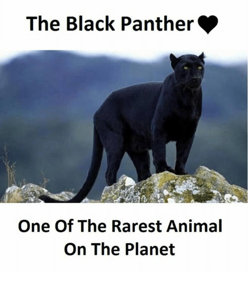 Animal, Black, and Black Panther: The Black Panther  One Of The Rarest Animal  On The Planet