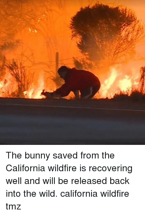 Memes, California, and Wild: The bunny saved from the California wildfire is recovering well and will be released back into the wild. california wildfire tmz