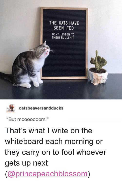 """whiteboard: THE CATS HAVE  BEEN FED  DONT LISTEN TO  THEIR BULLSHIT  catsbeaversandducks  But mooooooom! <p>That's what I write on the whiteboard each morning or they carry on to fool whoever gets up next (<a href=""""https://www.instagram.com/princepeachblossom/"""" target=""""_blank"""">@princepeachblossom</a>)<br/></p>"""