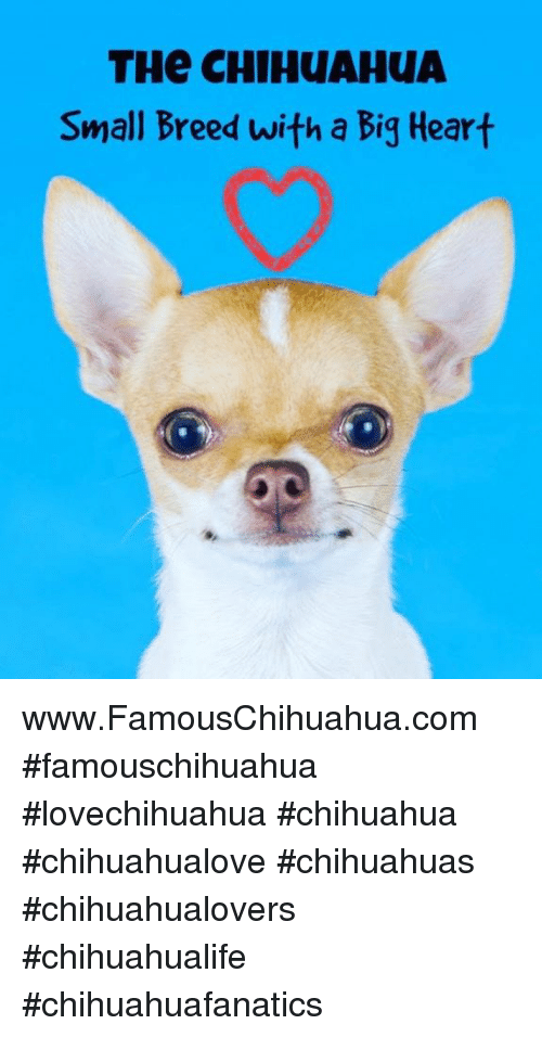 Chihuahua, Memes, and 🤖: THe CHIHUAHUA  Small Breed with a Big Heart www.FamousChihuahua.com #famouschihuahua #lovechihuahua #chihuahua #chihuahualove #chihuahuas #chihuahualovers #chihuahualife #chihuahuafanatics