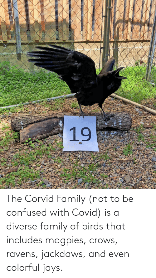 Jays: The Corvid Family (not to be confused with Covid) is a diverse family of birds that includes magpies, crows, ravens, jackdaws, and even colorful jays.