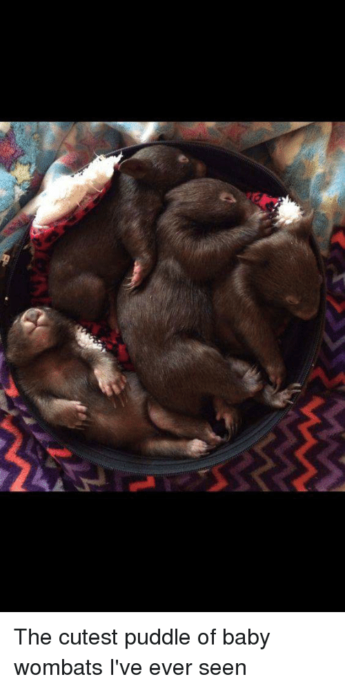 Joeys: The cutest puddle of baby wombats I've ever seen