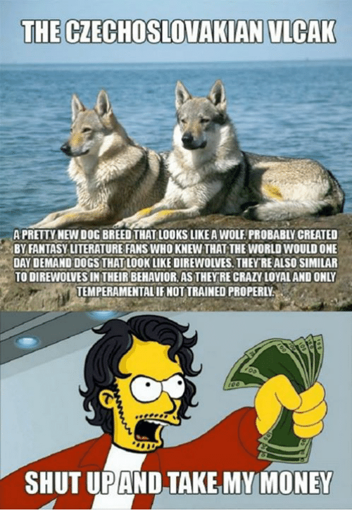 Memes, Wolf, and 🤖: THE CZECHOSLOVAKIAN NLCAK  A PRETTY NEW DOG BREED THAT LOOKS LIKEA WOLF PROBABLY CREATED  BY FANTASY LITERATURE FANS WHO KNEWTHAT THE WORLD WOULDONE  DAY DEMAND DOGS THAT LOOK LIKE DIREWOLVES. THEY REALSO SIMILAR  TO DIREWOLVESIN THEIRBEHAVIOR AS THEY RE GRAZY LOYALANDONLY  TEMPERAMENTAL IFNOTTRAINED PROPERLN  SHUT UPAND TAKE MY MONEY