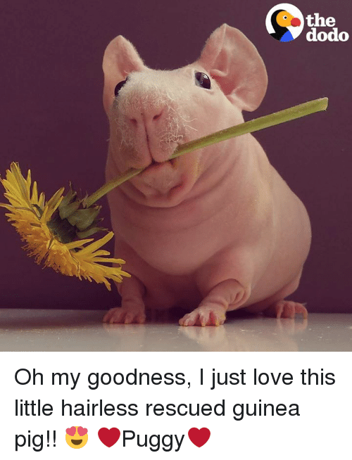 Memes, Guinea Pig, and 🤖: the  dodo Oh my goodness, I just love this little hairless rescued guinea pig!! 😍 ❤Puggy❤