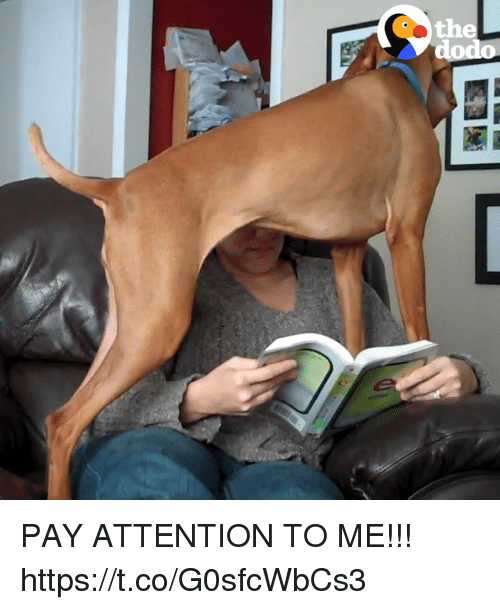 Relatable, Dodo, and Pay Attention: the  dodo PAY ATTENTION TO ME!!! https://t.co/G0sfcWbCs3