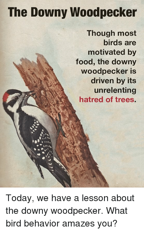 Hatre: The Downy Woodpecker  Though most  birds are  motivated by  food, the downy  woodpecker is  driven by its  unrelenting  hatred of trees. Today, we have a lesson about the downy woodpecker.  What bird behavior amazes you?