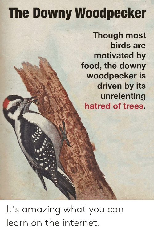 woodpecker: The Downy Woodpecker  Though most  birds are  motivated by  food, the downy  Woodpecker is  driven by its  unrelenting  hatred of trees. It's amazing what you can learn on the internet.