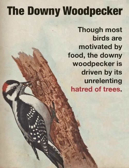woodpecker: The Downy Woodpecker  Though most  birds are  motivated by  food, the downy  woodpecker is  driven by its  unrelenting  hatred of trees.