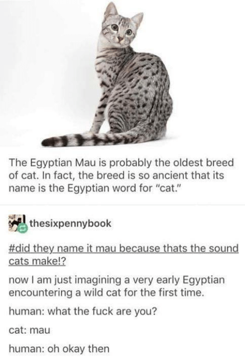 "mau: The Egyptian Mau is probably the oldest breed  of cat. In fact, the breed is so ancient that its  name is the Egyptian word for ""cat.""  thesixpennybook  #did they name it mau because thats the sound  12  cats make!?  now I am just imagining a very early Egyptian  encountering a wild cat for the first time.  human: what the fuck are you?  cat: mau  human: oh okay then"