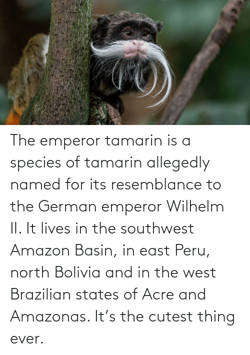 Allegedly: The emperor tamarin is a species of tamarin allegedly named for its resemblance to the German emperor Wilhelm II. It lives in the southwest Amazon Basin, in east Peru, north Bolivia and in the west Brazilian states of Acre and Amazonas. It's the cutest thing ever.
