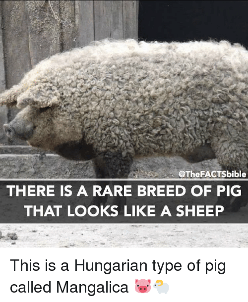 Facts, Memes, and Bible: @The FACTS bible  THERE IS A RARE BREED OF PIG  THAT LOOKS LIKE A SHEEP This is a Hungarian type of pig called Mangalica 🐷🐑