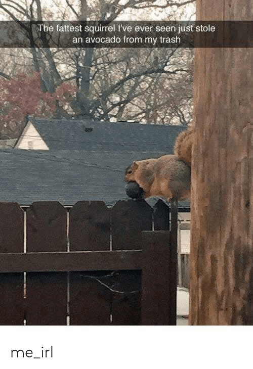 Avocado: The fattest squirrel I've ever seen just stole  an avocado from my trash me_irl