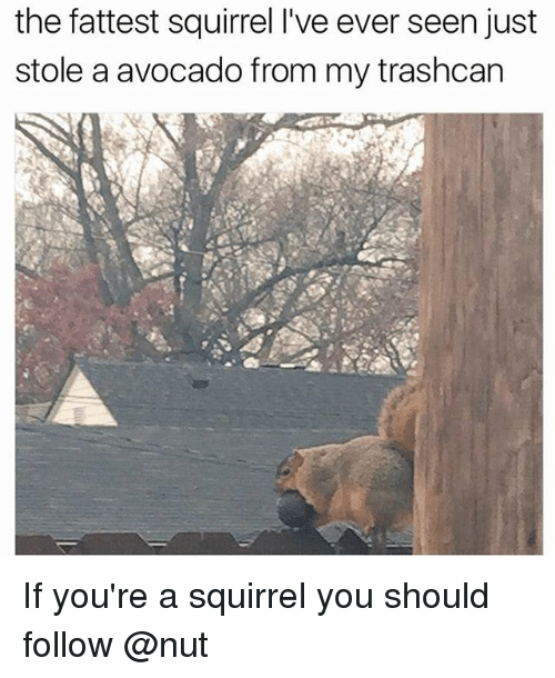Avocado, Squirrel, and Trendy: the fattest squirrel l've ever seen just  stole a avocado from my trashcan If you're a squirrel you should follow @nut